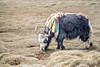 A Yak Shedding its Winter Coat in Changathang, Ladakh