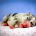 Doggone Jolly's Hyper Handsome by jollyvicky