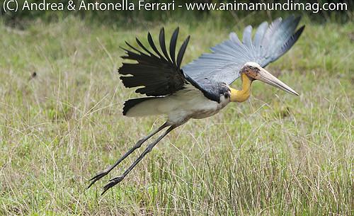 reefwondersdotnet posted a photo:Lesser adjutant stork Leptoptilos javanicus, Wilpattu National Park, Sri Lanka