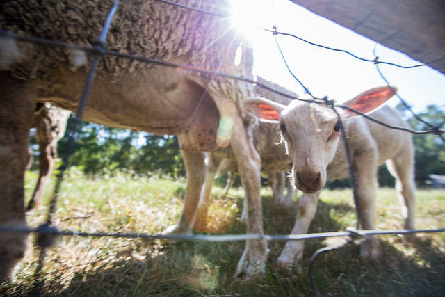 eager lamb