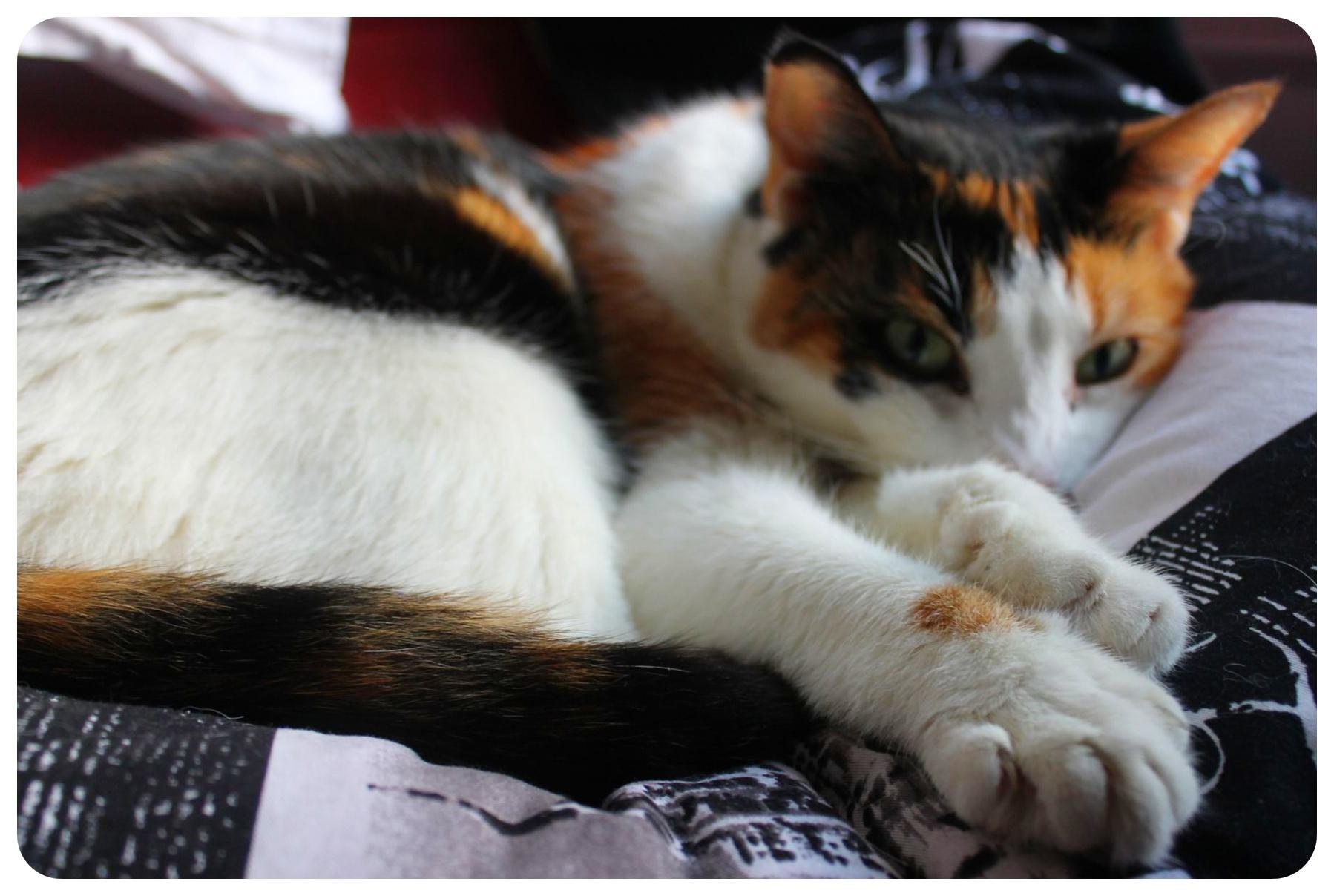 jessie the cat