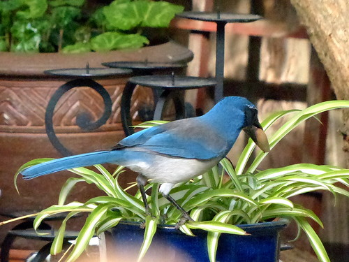 Scrub Jay with Acorn