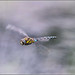 Small photo of Dragonfly Migrant Hawker /Aeshna mixta