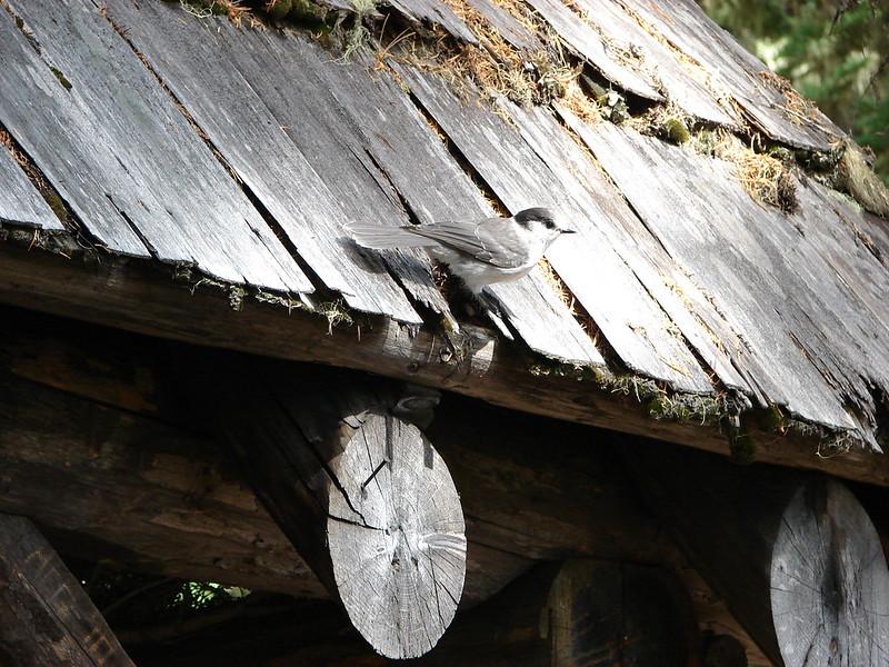 Grey Jay at the Cliff Lake Shelter