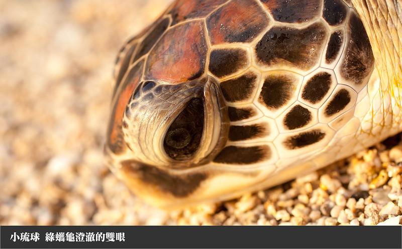 小琉球龜蠵龜澄澈的眼