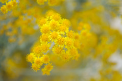 pollen, flower, yellow, sunlight, macro photography, herb, wildflower, flora, close-up,