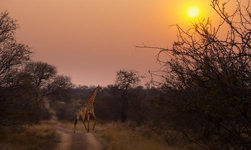 africa sunset animal neck walking southafrica mammal long pattern skin south safari explore tall giraffe hoedspruit mpumalanga giraffa gallop herbivore gamedrive timbavati gait jaydee camelopardalis galopping wildlifewednesday