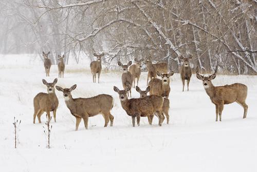 Mule Deer Herd