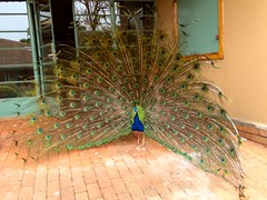 School Peacock Showing Off