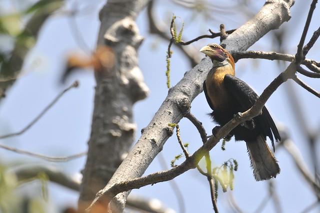 Narcondam Hornbill A 2010, by UmeedMistry