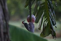 red-bellied woodpecker #1
