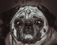 animal, dog, pet, snout, monochrome photography, close-up, monochrome, carnivoran, black-and-white, black, pug,