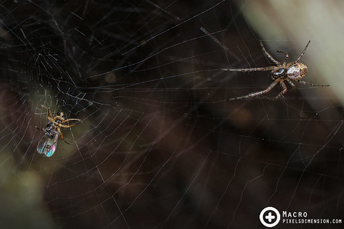 A juvenile Malabar Hermit Spider going in for the kill-  Nephilengys malabarensis ♀ juv