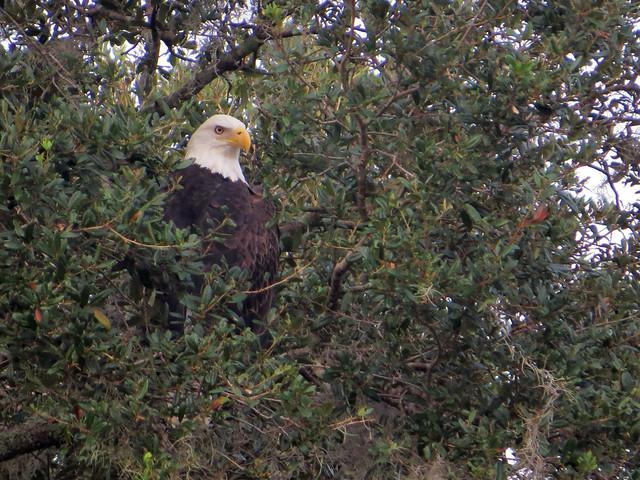 Bald Eagle | Haliaeetus leucocephalus