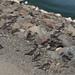 American Golden Plover, Los Banos, CA  10-03-14