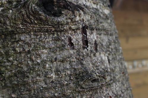 向陽山屋附近處處可見熊爪痕。