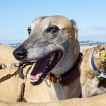 Greyhound Adventures at Crane Beach, Ipswich MA, Oct 5th 2014