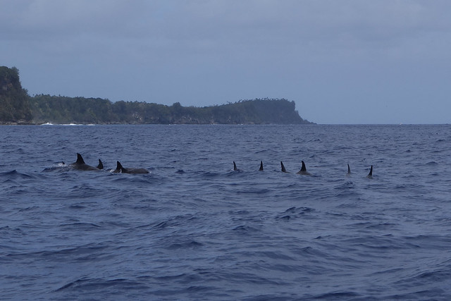 09242014 Rough Toothed Dolphins