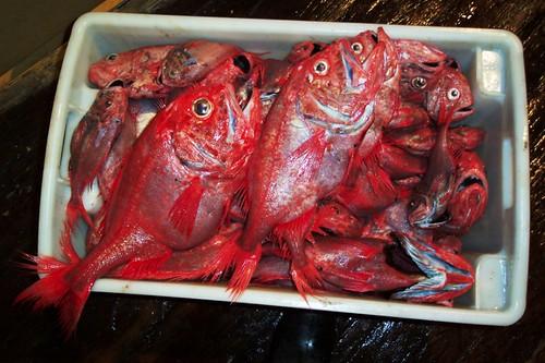 大西洋胸棘鯛,目前最常遭受捕撈的魚種。