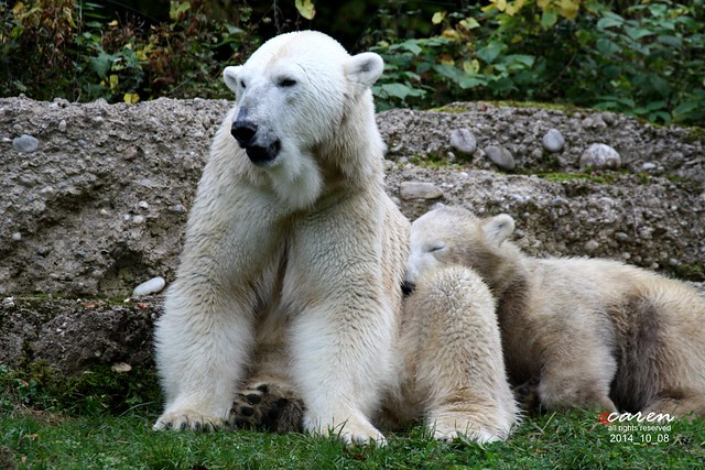 Eisbären Giovanna&Nobby 2014_10_08 202