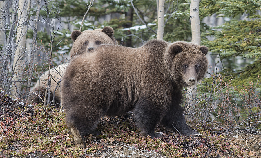 Grizzly Bears 1