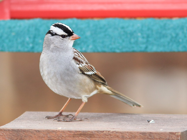 White-crowned Sparrow 10-20141010