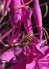 Cleome and Wasp
