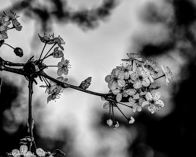 Spring Flowers In B&W