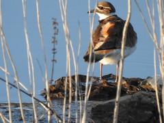 Killdeer at Ora Glen Wastewater Pond
