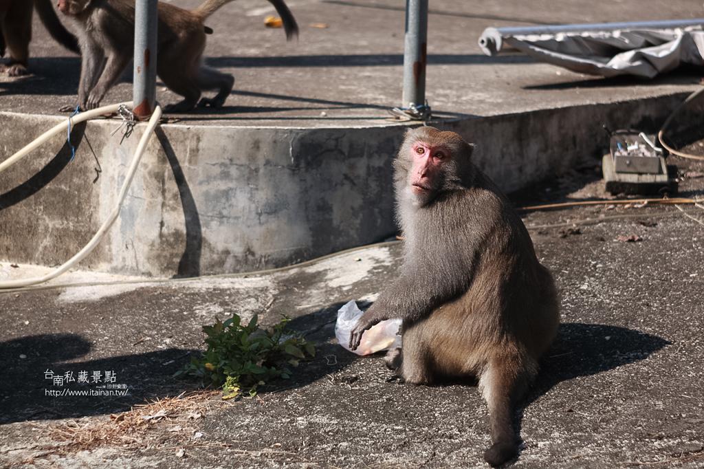 台灣獼猴 (24)