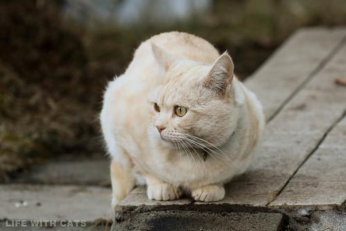 4T4A4777 Cream tabby Japanese cat 薄茶トラ猫