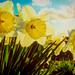New Fast Automatic Daffodils (079/365)