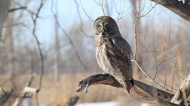 Chouette lapone / Great Gray Owl /Strix nebulosa