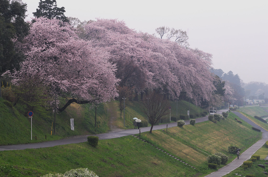 Cherry blossoms blooming on the bank of the Tone Canal