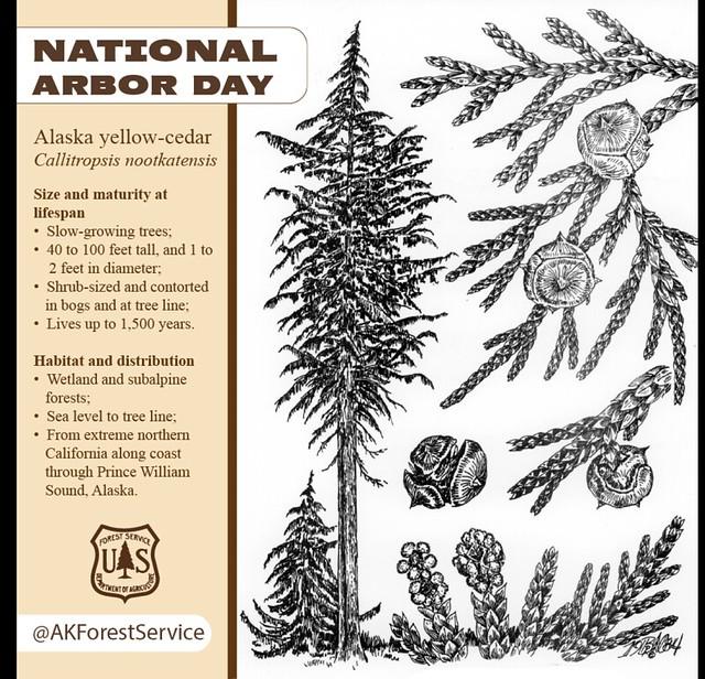 Header of Alaska Yellow-Cedar