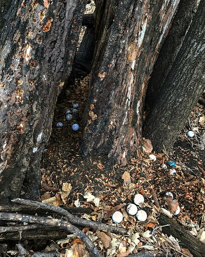 Some animal stashed 31 golf balls in this tree!