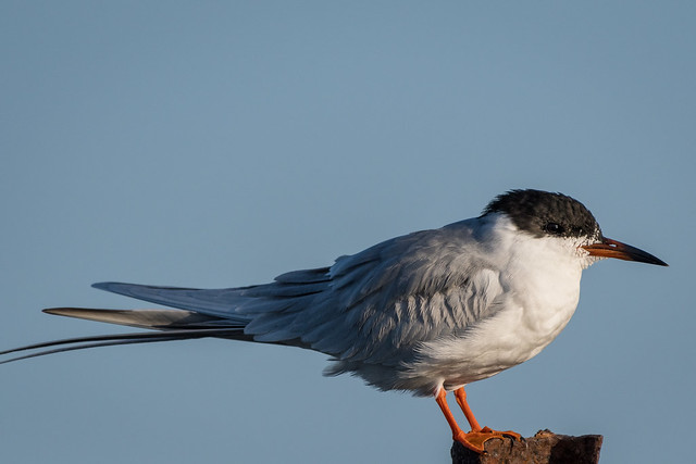 Forstern's Tern, breeding adult
