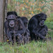 Small photo of A group of chimpanzees