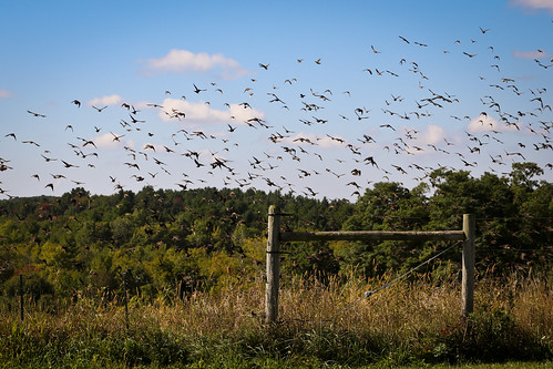 autumn cambridge newyork birds rural fence flock upstate farmland starlings fencepost murmuration cowpasture washingtoncounty