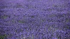 Cotswold Lavender 10-08-2013