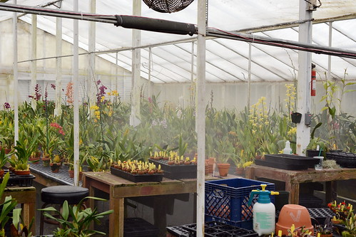 Oncidium hybrid greenhouse