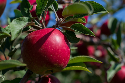 autumn red fall apple fruit orchard iowa dubuquecounty czipars