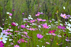 blossom(0.0), grass(0.0), lawn(0.0), annual plant(1.0), prairie(1.0), flower(1.0), field(1.0), garden cosmos(1.0), plant(1.0), daisy(1.0), flora(1.0), meadow(1.0), cosmos(1.0), grassland(1.0), petal(1.0),