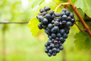 Red wine grapes on vineyard | by tigercop2k3