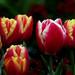 Tulip time.FZ200