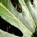 Small photo of Leaf