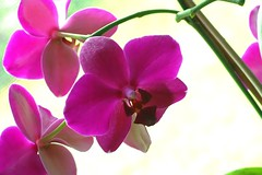flower, plant, orchid family, macro photography, phalaenopsis equestris, flora, pink, petal,