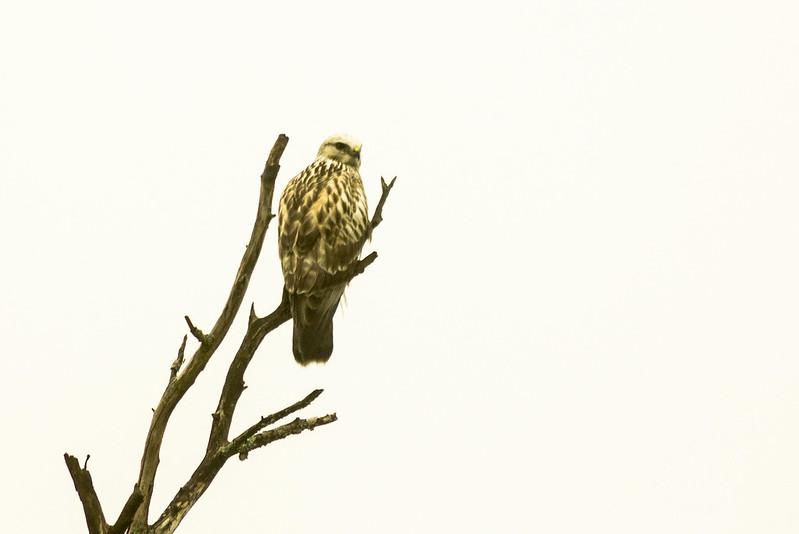 Hawk Up The Dead Tree