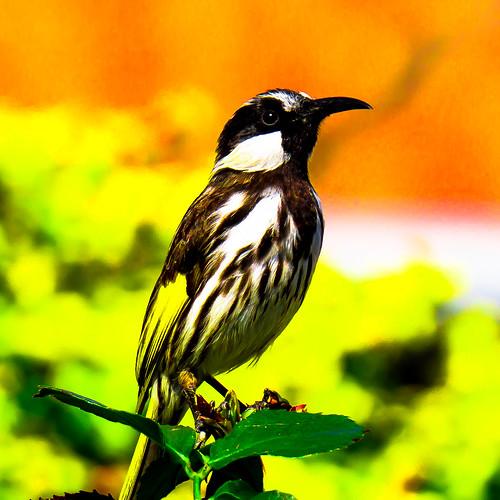 birds wildlife ngc npc honeyeater westernaustralia whitecheeked