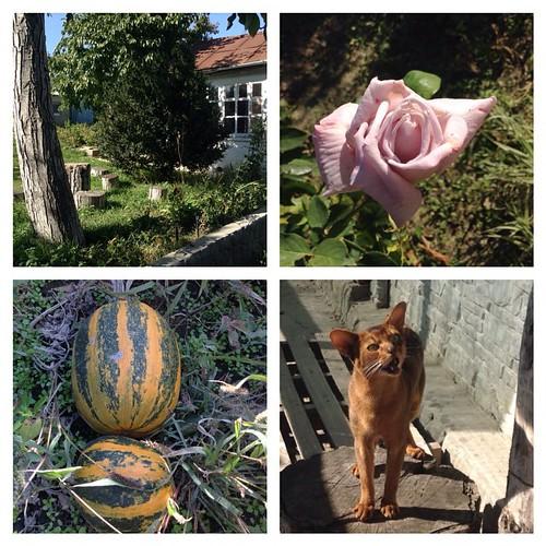 Вот и пришла настоящая добрая крымская осень. Ослепительное солнце и холодные ночи, плоды и цветы, и конечно же, Кот! #старыйкрым  #садогород